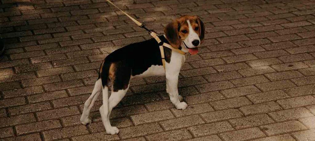 hond loopt onrustig heen en weer